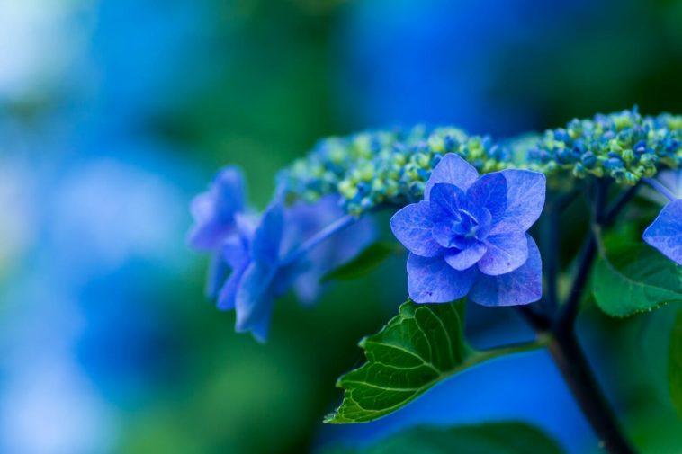紫陽花とロイヤルブルー